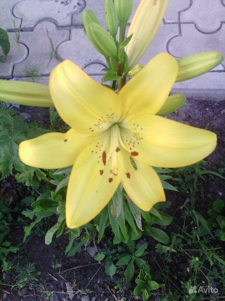 Жёлтые лилии купить на Зозу.ру - фотография № 1