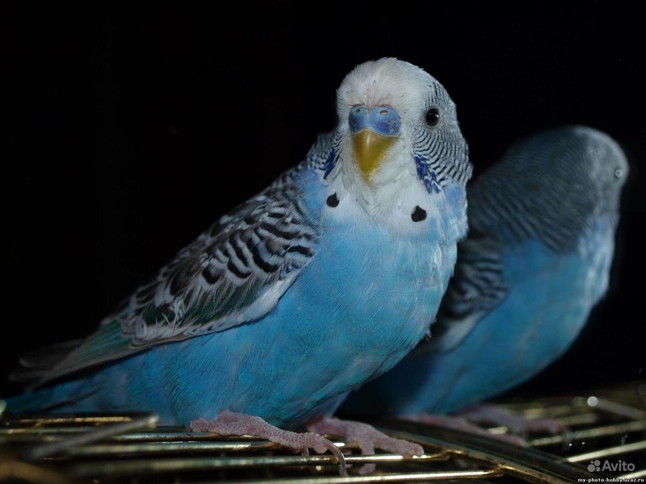 Волнистый попугай и амадин