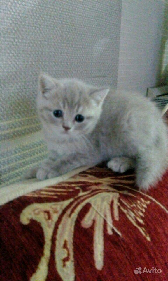 Британские котята в Саратове - фотография № 3
