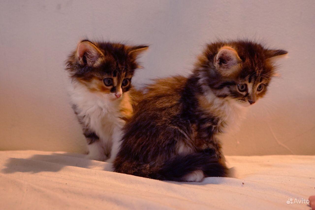 Котята обыкновенные