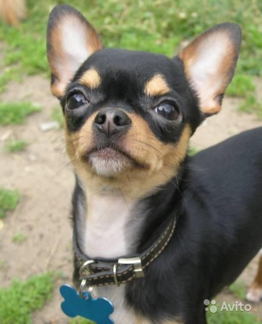Чихуашечка малышка девочка щенок