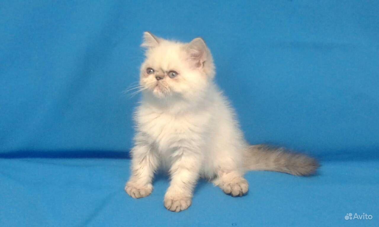 прививки персидским котятам