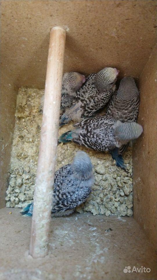 Попугаи кореллы & волнистые купить на Зозу.ру - фотография № 7