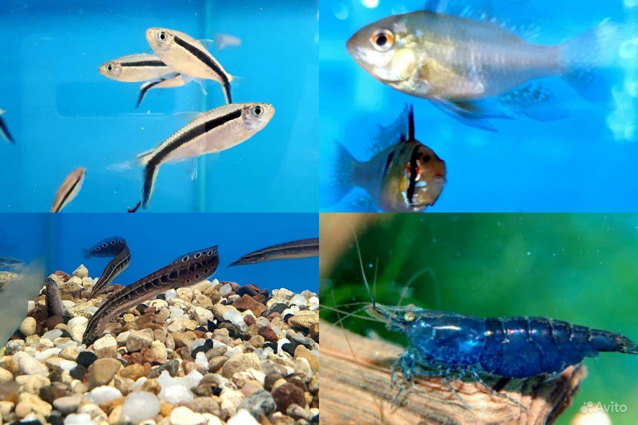 Аквариумные рыбки купить на Зозу.ру - фотография № 7