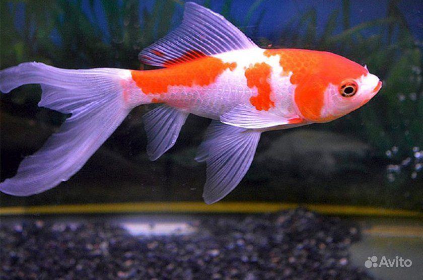 Золотая рыбка (Комета ) купить на Зозу.ру - фотография № 1