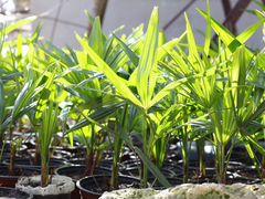 Пальма веерная (Трахикарпус Форчуна)