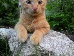 Котик рыжий