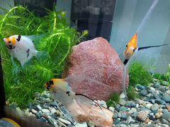Скалярии, креветки аквариумные