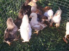 Цыплята брамы 20 дней