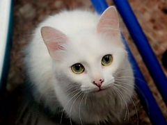 Турецкая ангора, кошка