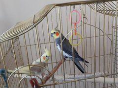 Попугаи кареллы