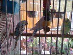 Попугай (4+клетка)