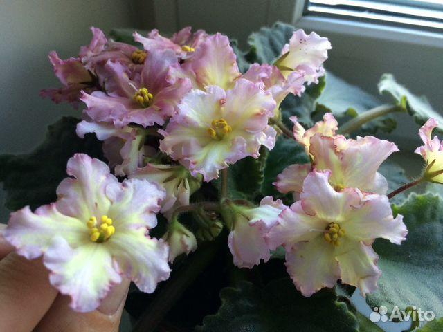 Lemon kisses, majesty цветы полумахровые, бахромчатые, белые с лимонно-желтым центром.