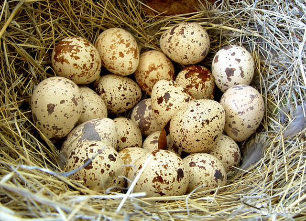 Продаю перепелиное яйцо— фотография №1