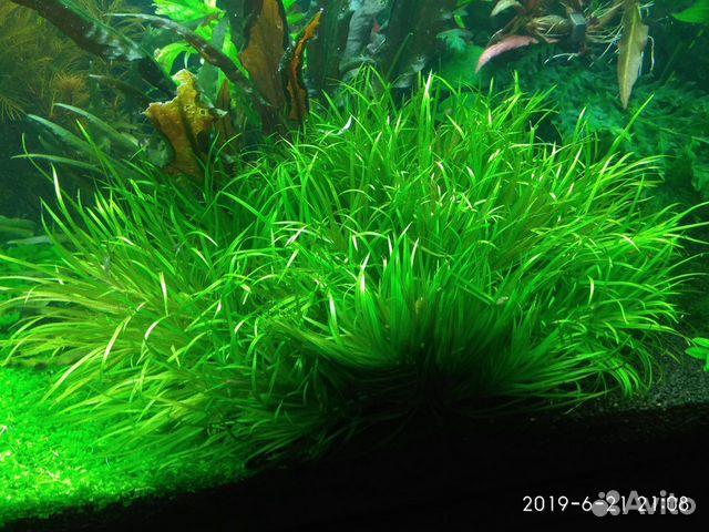 Аквариумные растения 89372502099 купить 1