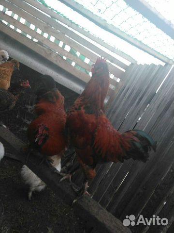 Петухи,курицы 5месяцев купить 5