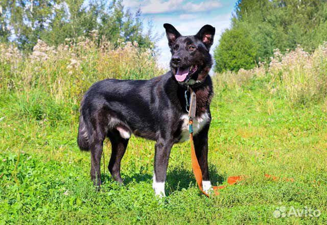 Великолепный Рэмбо, крупный,очень добрый пес в дар купить на Зозу.ру - фотография № 4