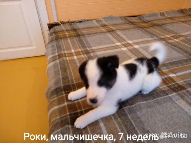 Красивые, здоровые щенки в добрые руки, любящую се купить на Зозу.ру - фотография № 5