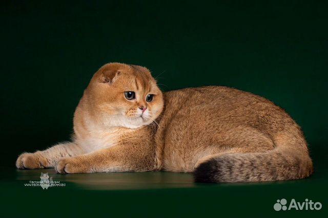 Шотландский племенной кот вязка купить 1