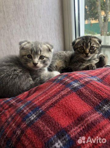 Вислоухие котята  89105471513 купить 1