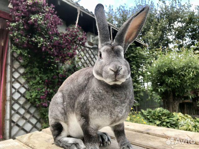 Кролики  89206193364 купить 4
