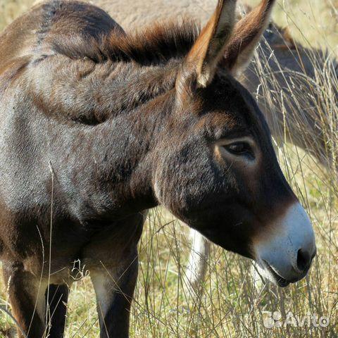 Die Eselin