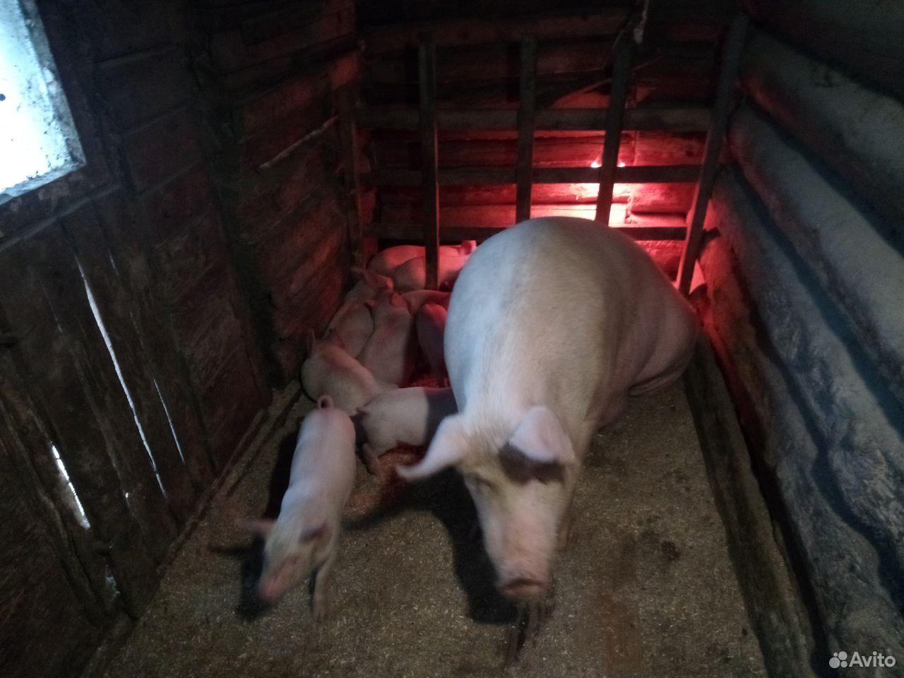Поросята. Осталось 2 свинки и 3 хрячка. 12-15 кг  89005575791 купить 2