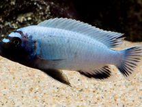 Цихлиды (Озеро Малави)