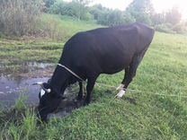 Корова 3 года