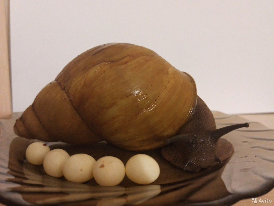 Яйца улиток архахатина Иктерик  89048809177 купить 4