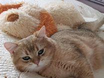 Продам Британского кота