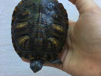 Черепаха (красноухая)