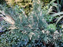 Многолетники, кустарники, хвойники, лианы и др — Растения в Саратове