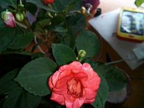Цветы бальзамин Ванька мокрый,Пеларгония Герань