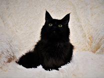 Предлагаются коты для вязок