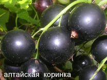 Кусты сортовой черной смородины