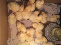 Продам цыплят бройлеров кобб 500. Выращиваю цыплят