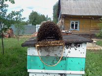 Семьи пчёл