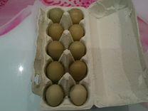 Инкубационное яйцо цесарки и охотничьего фазана