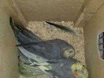 Попугай корелла пара на гнезде и молодняк